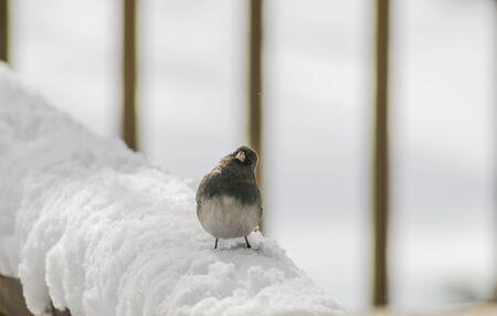 grey eyed: Snowbird in the snow