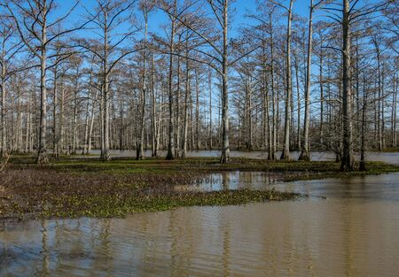 bayou swamp: cypress trees in the swamp Stock Photo