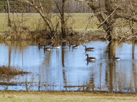 A group of swimming geese.