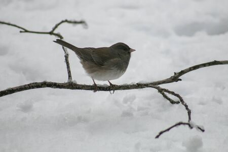 grey eyed: Dark-eye Junco sitting on a snowy branch.