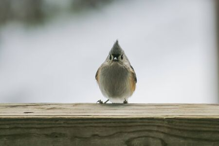 Curious, cold Tufted Titmouse on a rail. Stock Photo