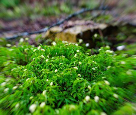 Green vivid offsprings snowdrop bokeh background