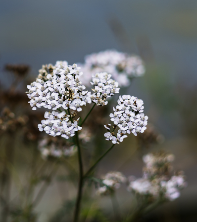flowers bokeh: Vertical vivid white Norway flowers bokeh background backdrop Stock Photo
