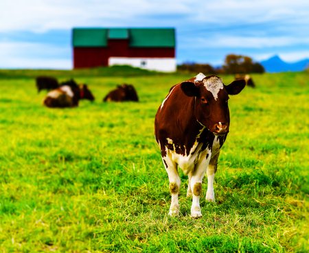 red heifer: Horizontal vivid Norwegian cow on the field background backdrop