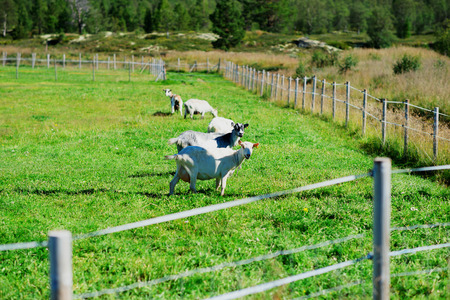 Norway sheep on bordered meadow background hd
