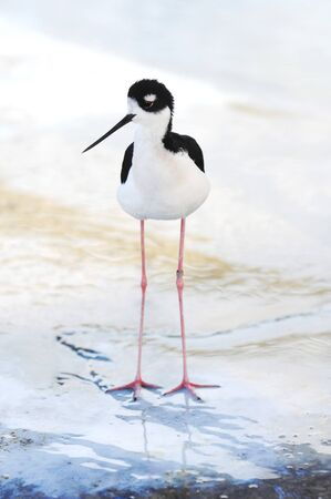 noises: A photo of a young Black-necked Stilt