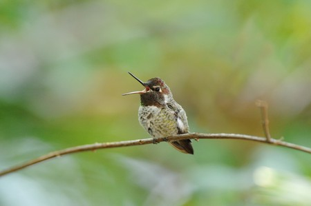 A photo of a perched Hummingbird. Stock Photo - 4065844