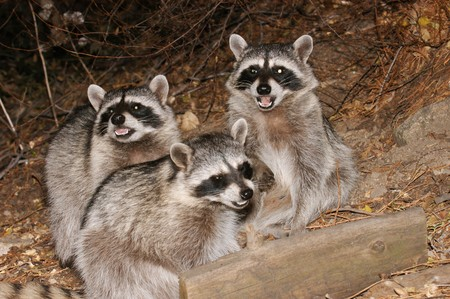 A family of Raccoons eating in the woods.