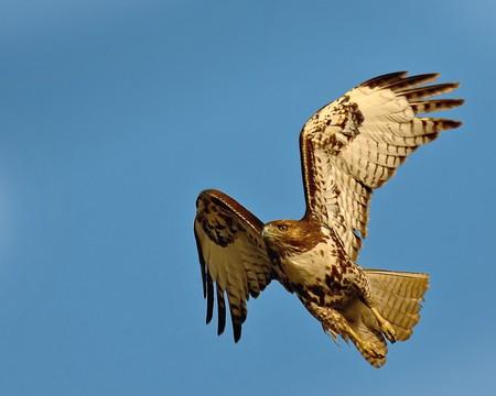 halcones: Halc�n de cola roja justo que despegue.