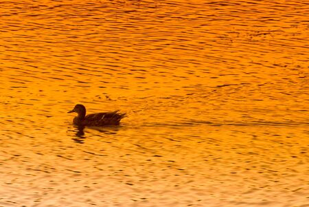 A duck glides across the water at sunset