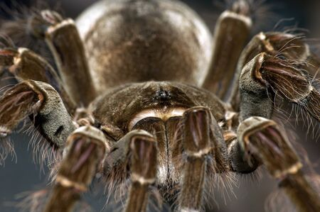 A Theraphosa Blondi tarantula macro shot
