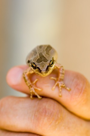 A macro image of a small frog on fingers, narrow focus, room for copy space.