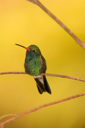 A photo of a Broad-Billed hummingbird