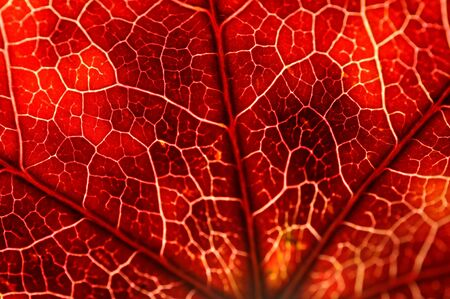 A macro image of a leaf, lit from behind, narrow focus Stock Photo