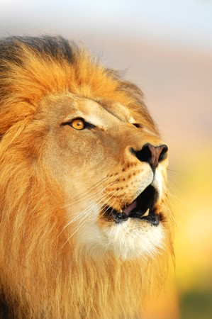 A male African lion roars as the sun sets.