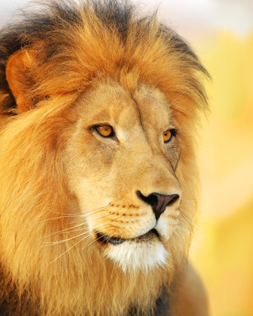 carnivora: A male African lion at sunset.