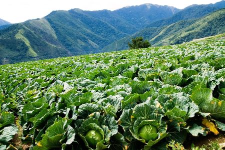 It is a cabbage farm in high mountain. Stock Photo