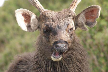 Sambar deer anger and roar loudly. photo