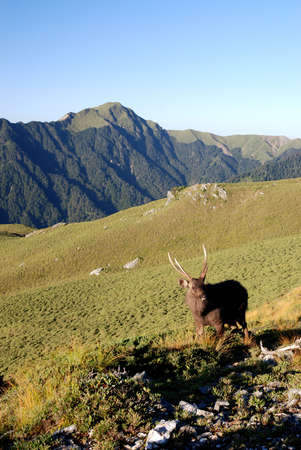 formosan sambar stands on the grass with beautiful mountain scenery. photo
