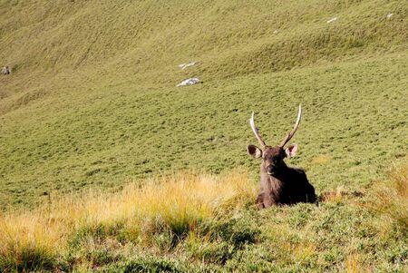 formosan sambar sits on the grass with beautiful mountain scenery. photo