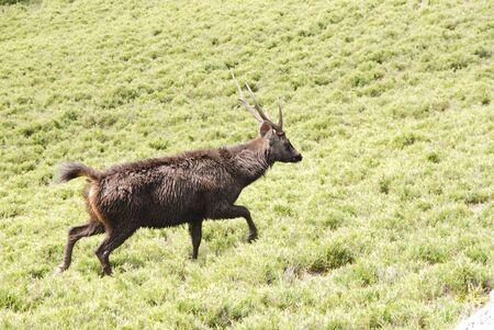formosan sambar walks on the grass carefully. photo