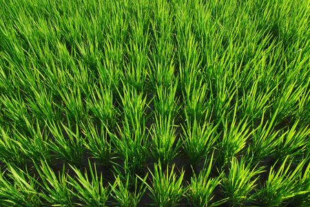 It is a green new rice land background.