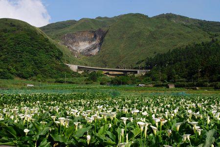 Calla lily garden with green mountain.  Stock Photo