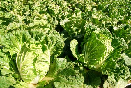 Green chinese cabbages