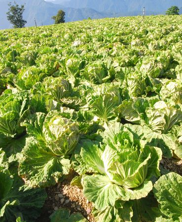 Green chinese cabbage waiting for harvesting in high mountain.