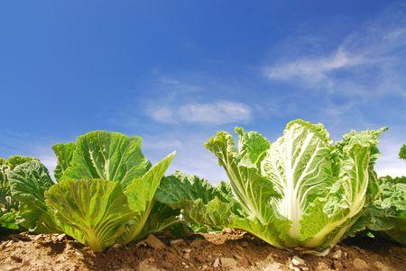 cabbage: Fruit Stockfoto