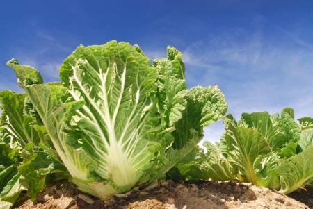 Repollo: Repollo chino, granja de vegetal. Foto de archivo