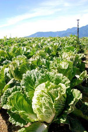Green Chinese cabbage under the blue sky.