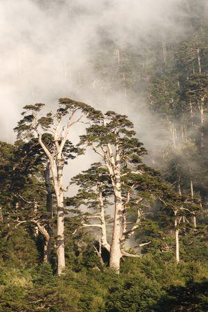 cicuta: Nube brumoso y bosque,, Hemlock de Taiw�n