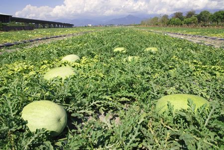 melon fruit: Green watermelon farm with beautiful  village scenic. Stock Photo