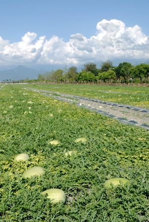 Watermelon fruit farm with beautiful  rural scenic. Stock Photo