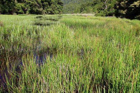 marsh plant: Lago verde e piante di palude.