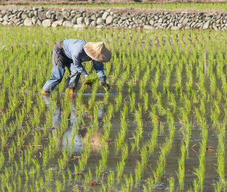 Asian Farmer Pflanzen auf der Paddy-Reis-Farmland durch organisch Geschicklichkeit. Lizenzfreie Bilder