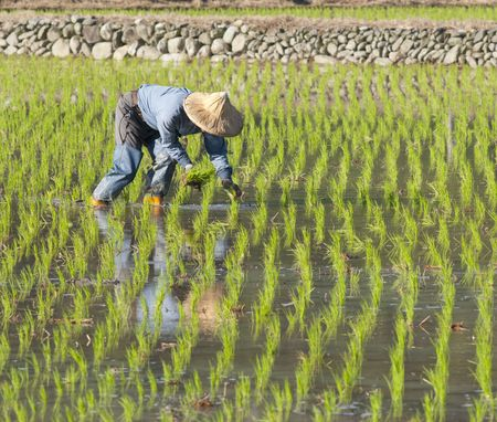 rice paddy: asian farmer planting on the paddy rice farmland by organically skill. Stock Photo