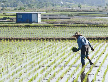 farmer  on the paddy rice farm. photo