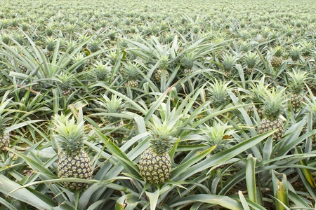 background of tropica pineapple fruit field. photo
