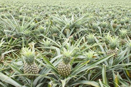 Hintergrund des Tropica Ananas Obst Feld.