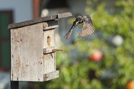 bird nest and european starling . photo