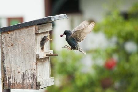 starling feeding a nesting in bird nest. photo