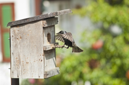 European starling fly back to feed a nestling in germany photo