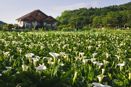 Calla lily garden with beautiful rural scenery. photo