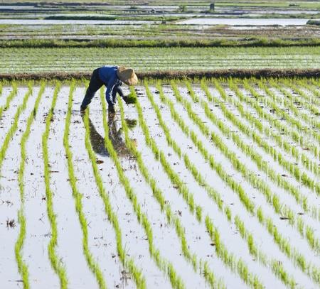 논 농지에 쌀을 재배하는 농부. 스톡 콘텐츠
