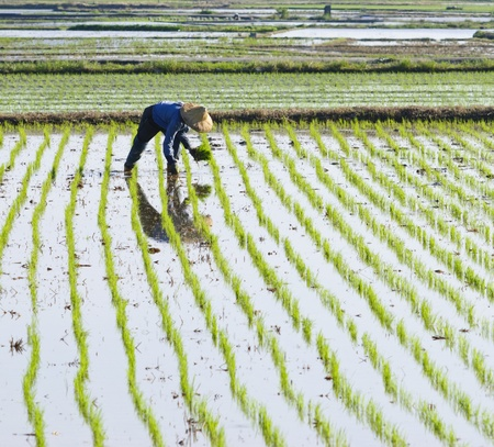 farmer planting rice on paddy farmland. Stock Photo
