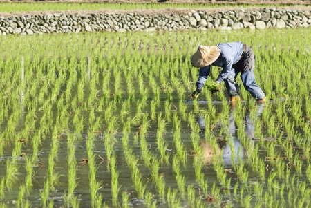 farmer working on paddy rice field photo