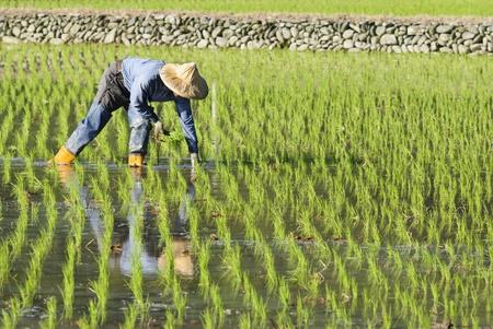 Betriebsinhaber, die Arbeit an Reis Reisfeld