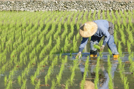 farmer planting paddy rice in asia. photo